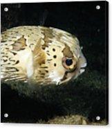 Balloonfish Profile Puffer Fish, Diodon Acrylic Print