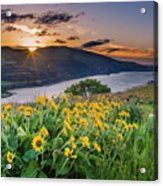 Balsamroot At Sunrise Acrylic Print