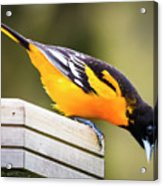 Baltimore Oriole About To Jump Acrylic Print