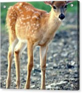 Bambi2 Acrylic Print