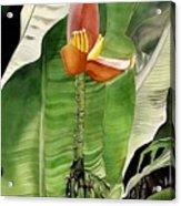 Banana Blossom Acrylic Print