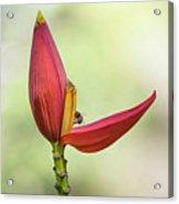 Banana Flower Bud  Acrylic Print