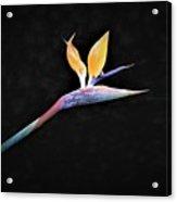 Banana Flower Acrylic Print