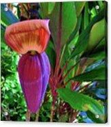 Banana Plant Flower And Leaves Acrylic Print