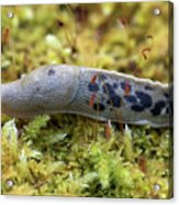 Banana Slug Closeup In Moss Acrylic Print