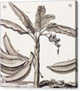 Banana Tree Acrylic Print