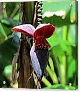 Banana Tree --plantain II Acrylic Print