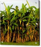 Banana Trees Acrylic Print
