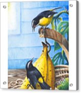 Bananaquits And Bananas Acrylic Print