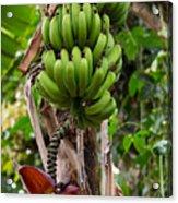 Bananas In Africa Acrylic Print