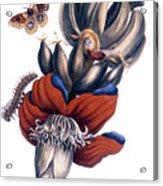 Bananas (musa Paradisiaca): Acrylic Print