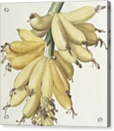Bananas Acrylic Print by Pierre Joseph Redoute