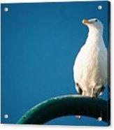 Bandon Seagull. Acrylic Print