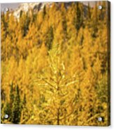 Banff Golden Larch Dream World Acrylic Print