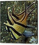 Banggai Cardinalfish With Egg, North Acrylic Print