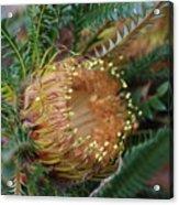 Banksia Nivea - 2 Acrylic Print