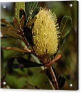 Banksia Syd01 Acrylic Print
