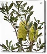 Banksia Syd02 Acrylic Print