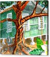 Banyan In The Backyard Acrylic Print