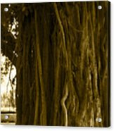 Banyan Surfer - Triptych  Part 1 Of 3 Acrylic Print
