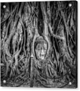 Banyan Tree Acrylic Print by Adrian Evans