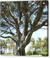 Banyan Tree Acrylic Print by Anna Villarreal Garbis