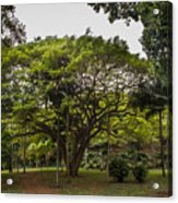Banyon Monkeypod Landscape II Acrylic Print
