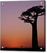Baobab At Sunset Acrylic Print