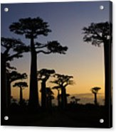 Baobab Forest At Sunset Acrylic Print