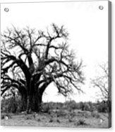 Baobab Landscape Acrylic Print