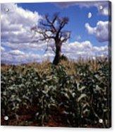Baobaba Tree Acrylic Print