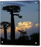 Baobabs And Storm Clouds Acrylic Print