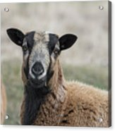 Barbados Blackbelly Sheep Portrait Acrylic Print