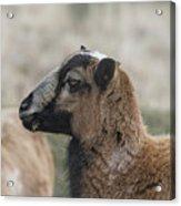 Barbados Blackbelly Sheep Profile Acrylic Print