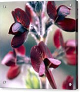 Barbed Thermopsis Or Black Pea Acrylic Print