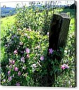 Barbed Wire And Roses Acrylic Print