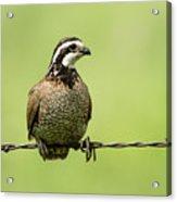 Barbed Wire Bobwhite Acrylic Print