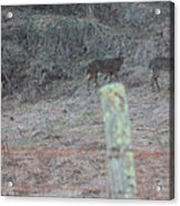 Barbwire And Whitetails Acrylic Print