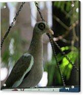 Bare Eyed Pigeon Acrylic Print
