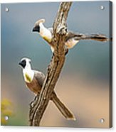 Bare-faced Go-away-birds Corythaixoides Acrylic Print