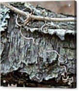 Bark - Lichen - Cat Brier Tendrils Acrylic Print