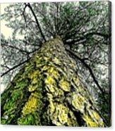 Bark Up The Tall Pine Tree Abstract In Felicina  Louisiana Acrylic Print