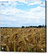 Barley And Sky In Oulu, Finland. Acrylic Print