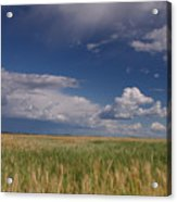 Barley In The Wind Acrylic Print