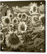 Barn And Sunflowers In Sepia Tone Acrylic Print