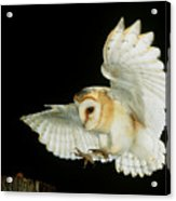 Barn Owl Acrylic Print by Andy Harmer and SPL and Photo Researchers