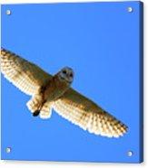 Barn Owl Flight Acrylic Print