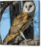 Barn Owl Framed In Cottonwood Acrylic Print