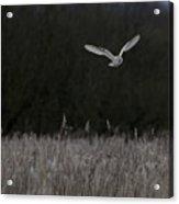 Barn Owl Hunting At Dusk Acrylic Print