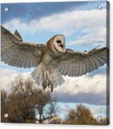 Barn Owl Makes A Happy Landing Acrylic Print